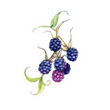 Blackberry on a branch. Isolated on white background. Watercolor illustration vector illustration