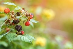 Blackberry branch with red and black berries, green leaves in sunlight, copy space stock photography