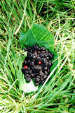 Blackberry branches on leaves. Heap of blackberries  on leaves  in   grass Royalty Free Stock Photography