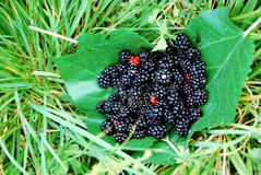 Blackberry branches on leaves. Heap of blackberries  on leaves  in   grass Stock Photography