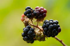 A blackberry brunch Royalty Free Stock Photography