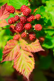 A blackberry brunch Royalty Free Stock Image
