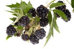 Blackberry brunch. Delicious blackberry on white. wet Stock Photo