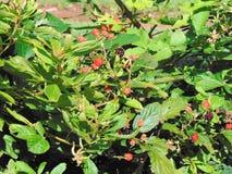 Blackberry buisson Photos stock