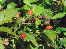 Blackberry buisson Photo libre de droits