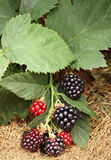 Blackberry bunch Royalty Free Stock Photos