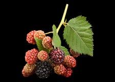 Blackberry bunch on black Stock Image
