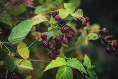 Blackberry Busch Lizenzfreies Stockfoto