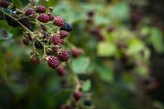 Blackberry Busch Lizenzfreies Stockbild