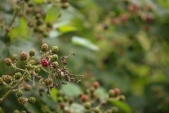 Blackberry Busch Lizenzfreie Stockfotografie