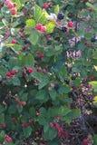 Blackberry Busch stockbilder