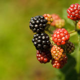 Blackberry on the bush. Close up grows Stock Photography