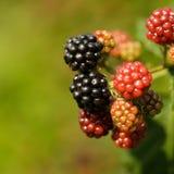 Blackberry on the bush Stock Photography
