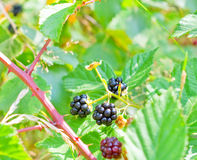 Blackberry bush. With ripe and unripe berries royalty free stock image