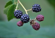 Blackberry bush with berries. Blackberry bush with different maturity of berries stock photos