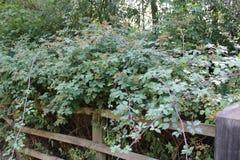 Blackberry bush blooming stock image
