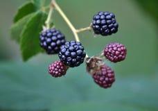 Blackberry Bush con las bayas fotos de archivo