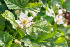 Blackberry bush with flowers and leaves in summertime royalty free stock images