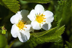 Blackberry bush flowers (Rubus fruticosa) stock image