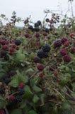 Blackberry Bush with fruit. Stock Photography
