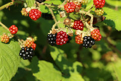 Blackberry bush Stock Photography