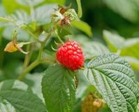 Blackberry bush Stock Photos