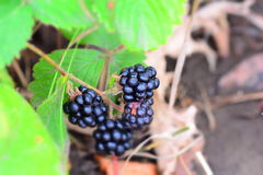 Blackberry bush in the garden Royalty Free Stock Images