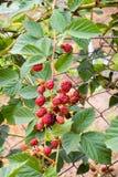 Blackberry bush. Immature blackberry fruits on fence stock photos