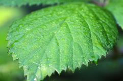 Blackberry bush - leaf Royalty Free Stock Photography