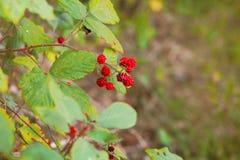 Blackberry. Bush in a park lake Royalty Free Stock Photo