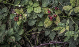 Blackberry Bush. A bush of red and black berries Royalty Free Stock Photo