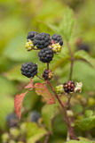Blackberry bush Royalty Free Stock Photo