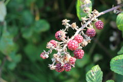 Blackberry on the bush. Stock Photos