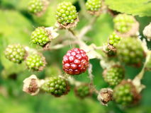BLACKBERRY BUSH WITH RED BERRY Royalty Free Stock Photography