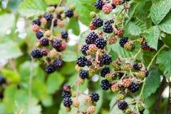 Blackberry buske nära den Frutillar byn, Chi arkivfoto