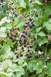 Blackberry buske nära den Frutillar byn, Chi fotografering för bildbyråer