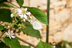 Blackberry with butterfly Royalty Free Stock Image
