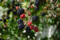 Blackberry closeup Royalty Free Stock Images