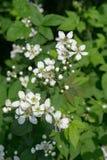 """Blackberry común florece allegheniensis del Rubus del †"""" fotografía de archivo"""