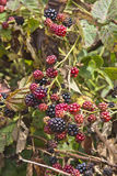 Blackberry Crop Royalty Free Stock Image