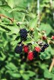 Blackberry in de groene struiken royalty-vrije stock foto's