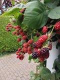 Blackberry Royalty Free Stock Photography
