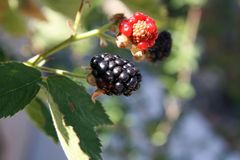 Blackberry at different stages Red to black. Blackberry at different stages from red to black One of each red and black as close-ups. Great depth of field. You royalty free stock photography