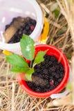 Blackberry em uma cubeta do bebê imagens de stock