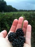 Blackberry Farm. Pick your own farm berries straight from the vine Stock Photo