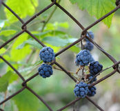 Blackberry. On a fence with leaves background stock photo