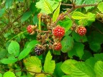 Blackberry filial på en grön buske Fotografering för Bildbyråer