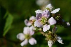 Blackberry fiorisce in primavera Fotografia Stock