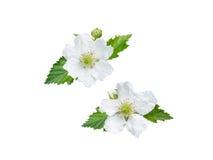 Blackberry fleurit, des bourgeons et des feuilles Photo libre de droits