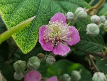 Blackberry flower. And buds in spring, Rubus fruticosus royalty free stock photography